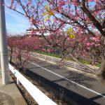 京浜急行久里浜線沿いの河津桜