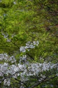 桜もきれいでしたよ